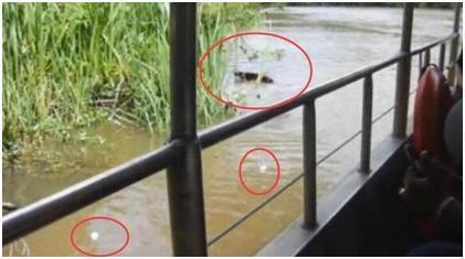 游客诱骗野猪下河结果让人发指应该受到人们的谴责