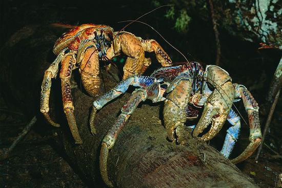 这不是电影里看到的怪物,它们是的的确确生活在这个星球的物种,它叫椰子蟹。