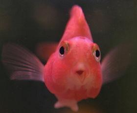 红元宝鹦鹉鱼怎么养