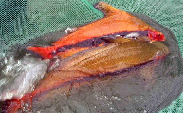 夫妻捕到价值1.8万元胭脂鱼被判刑