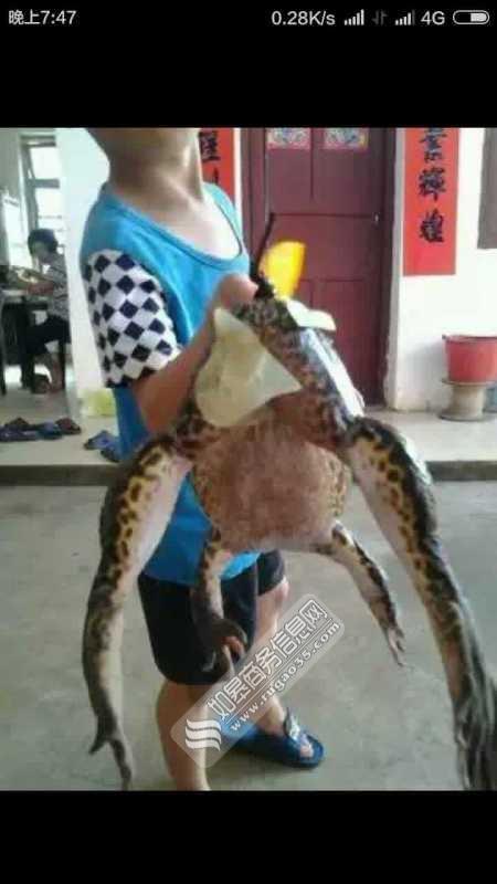 村民抓到巨蛙中国的蛙类有130种左右
