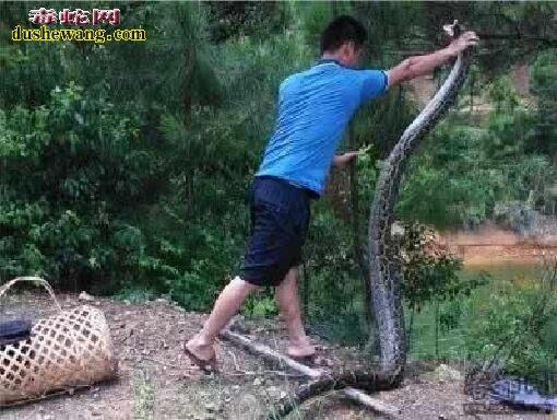 云南巨蟒偷鸡被擒获 来看看神秘巨蟒是什么样的
